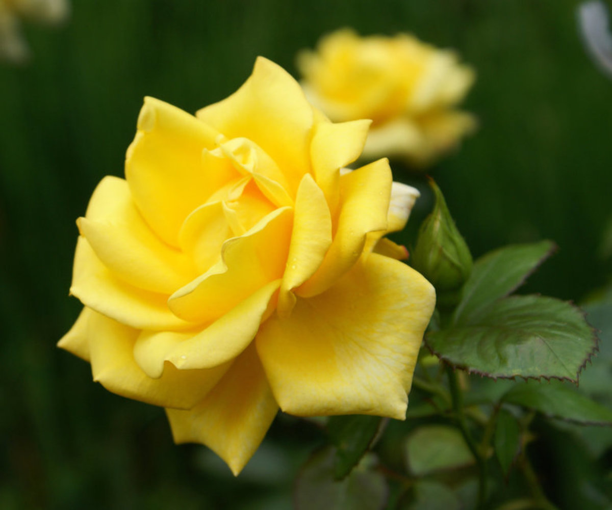 Two Yellow Roses Picture