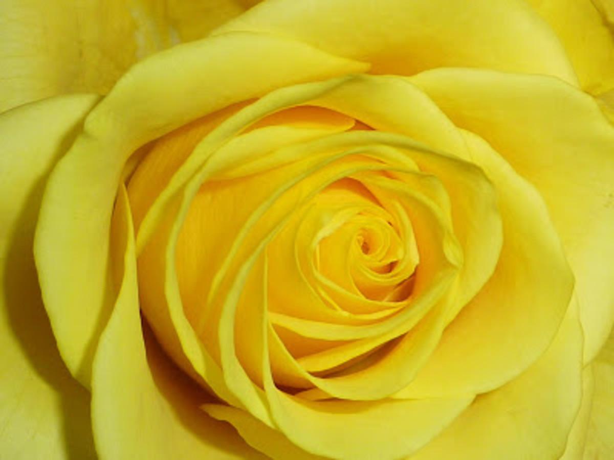 Yellow Rose Close-up Photo