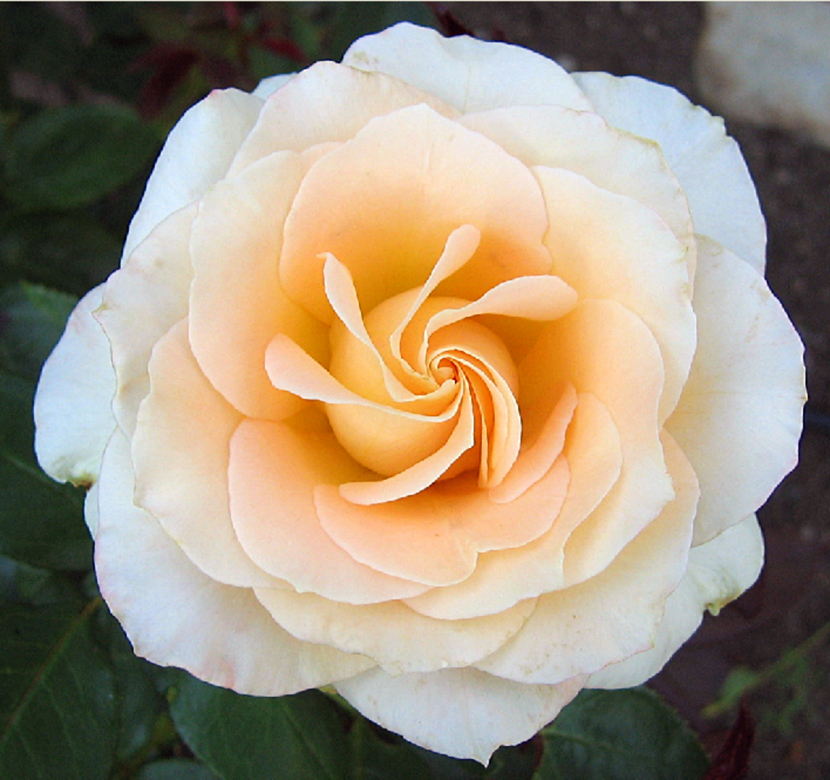 Peach and White Rose Close-up Pic