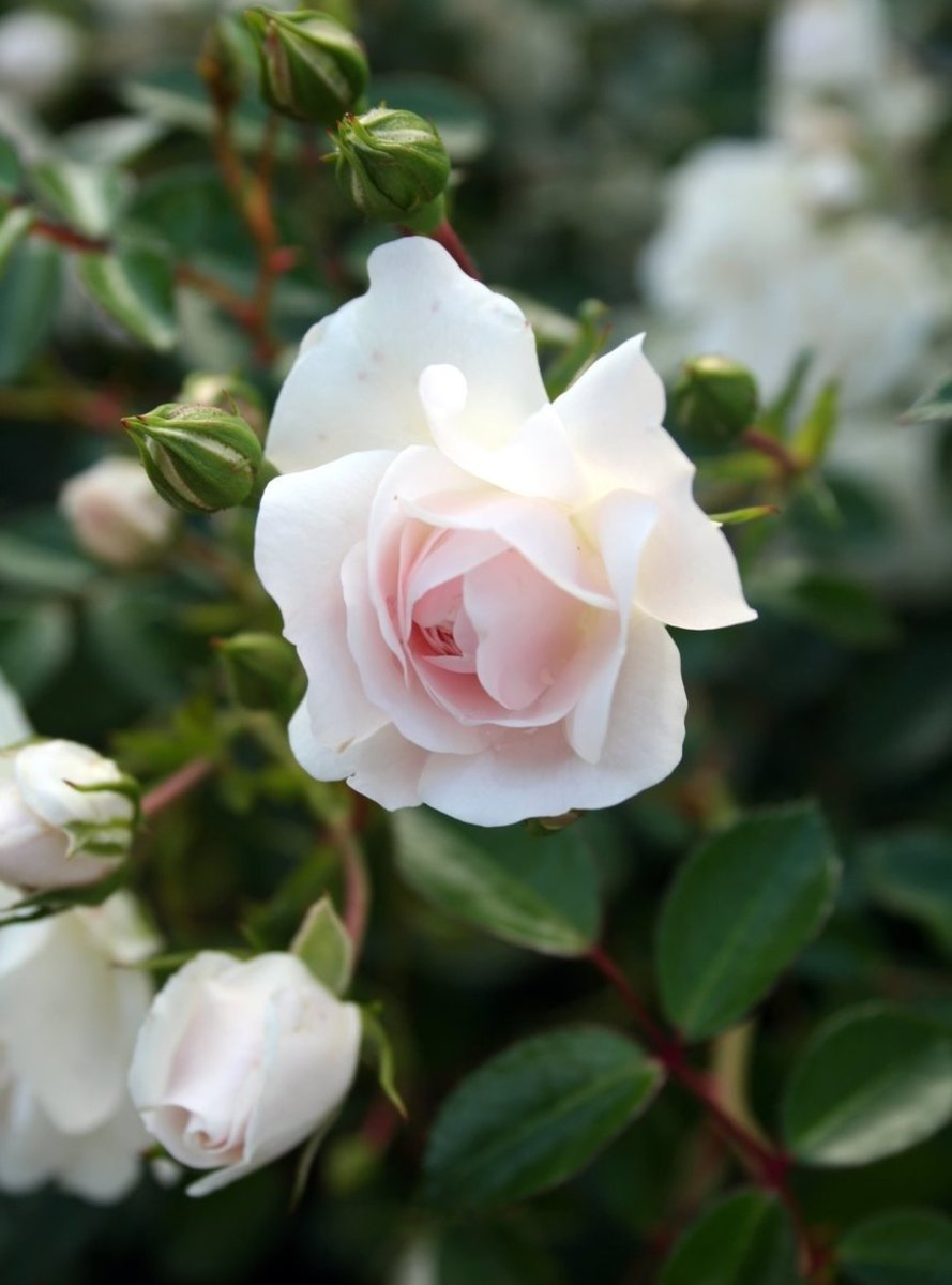 Pink Blush on White Roses Photo