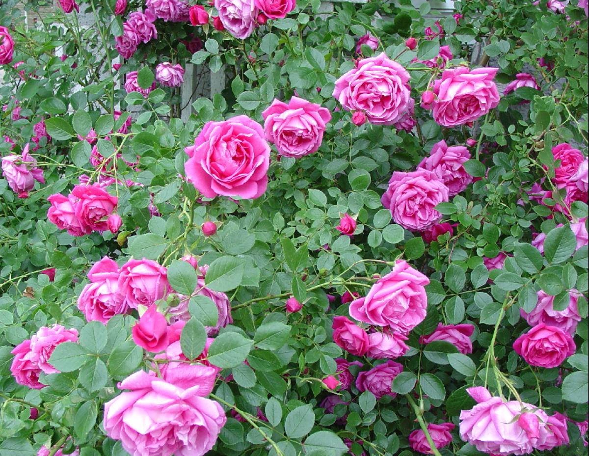 Pink Roses Pic