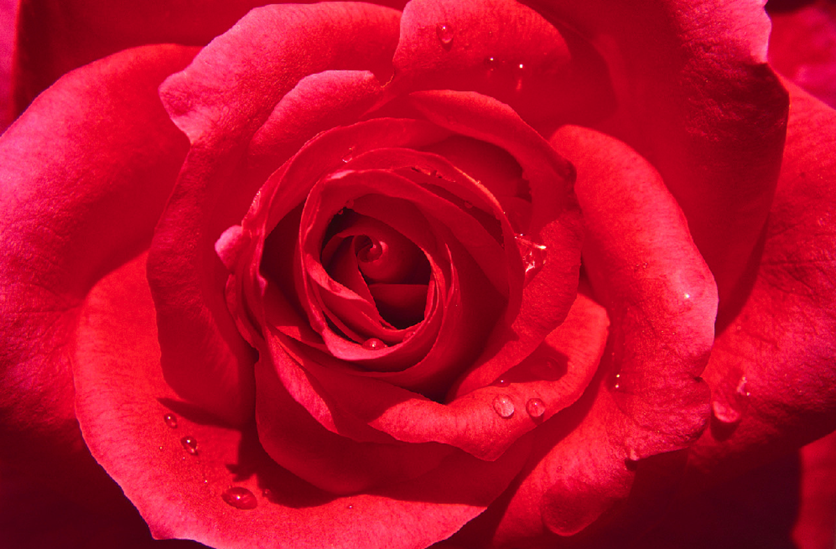 Red Rose with Dew Drops Pic