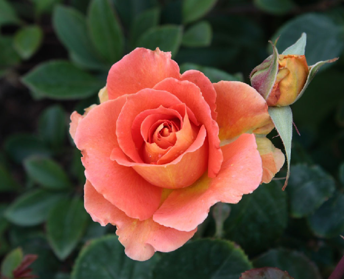 Peach Rose and Rosebud Photo