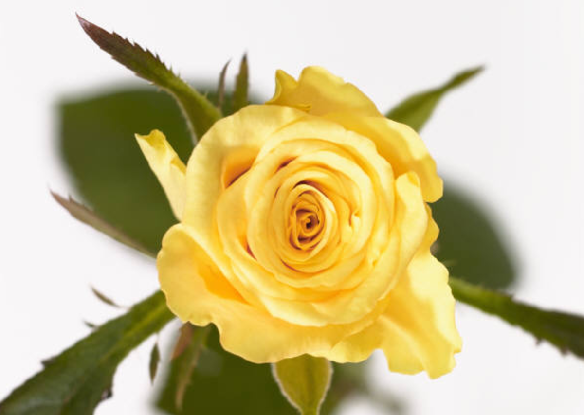 Yellow Rose in Full Light Image