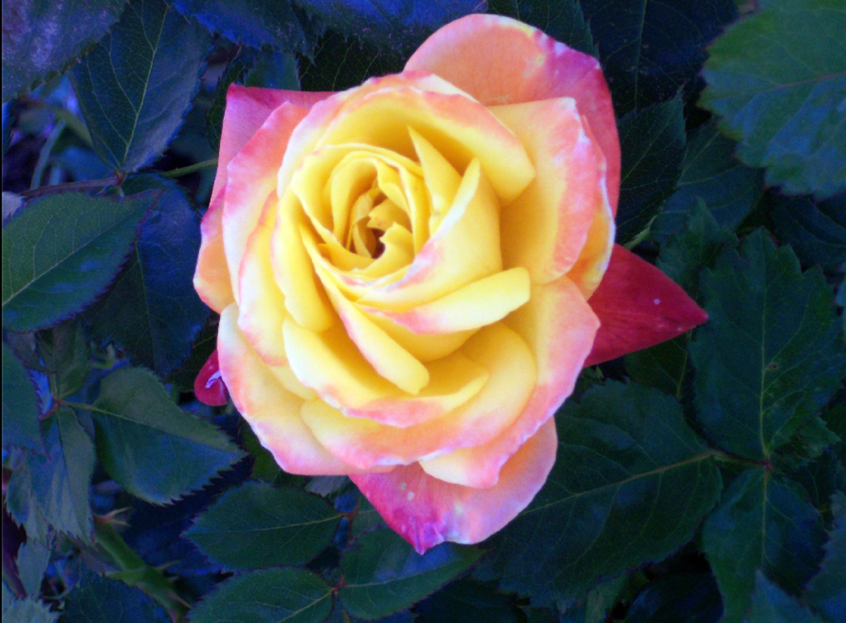 Yellow and Pink Blush Rose Photo