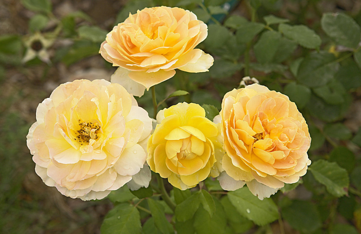 Yellow Roses Cluster Picture