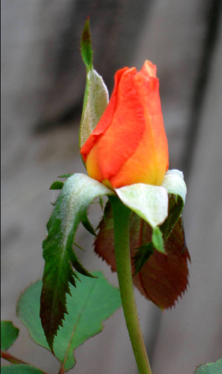 Picture of Orange Rose Bud Beginning to Open