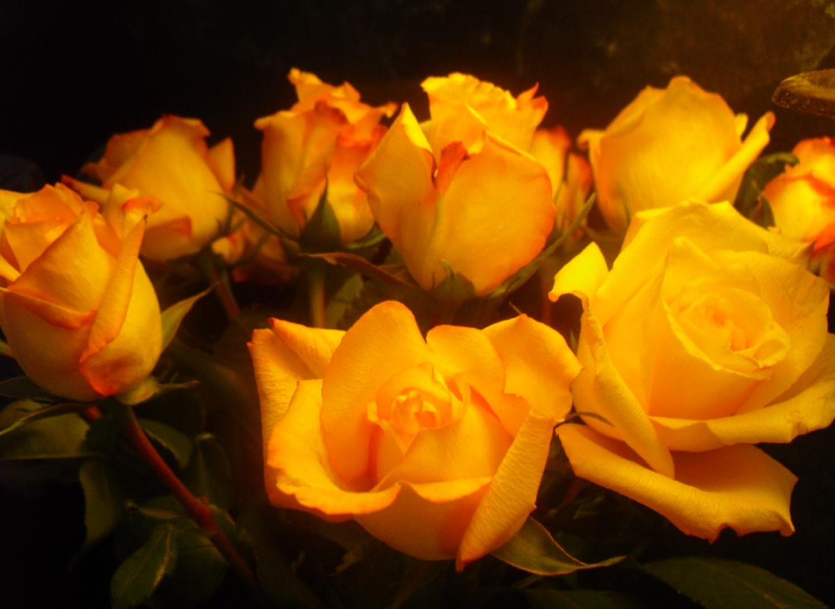Orange Roses Image