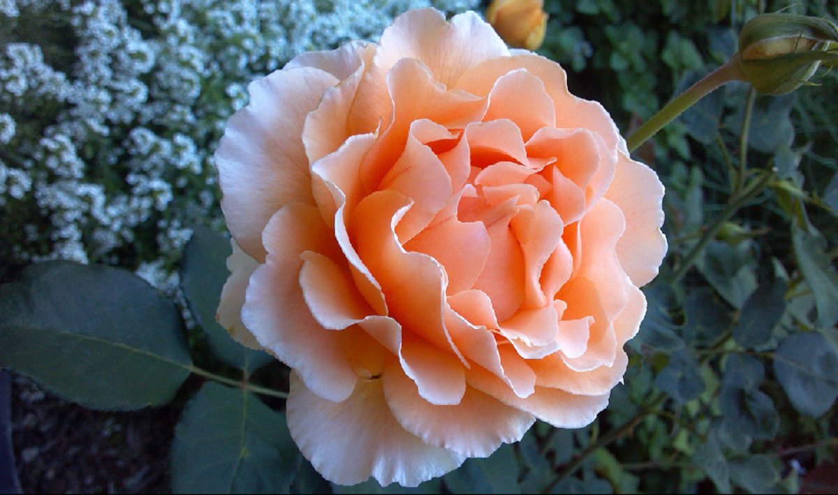 Coral Rose in Full Bloom Image