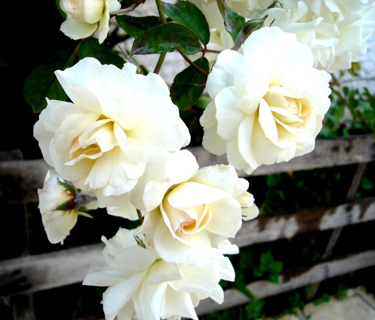 Three White Roses Photo