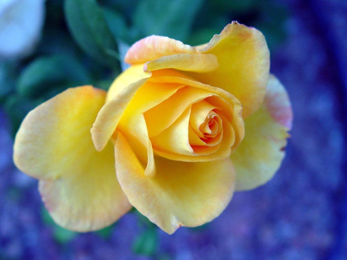 Yellow Rose with Orange Accent Photo