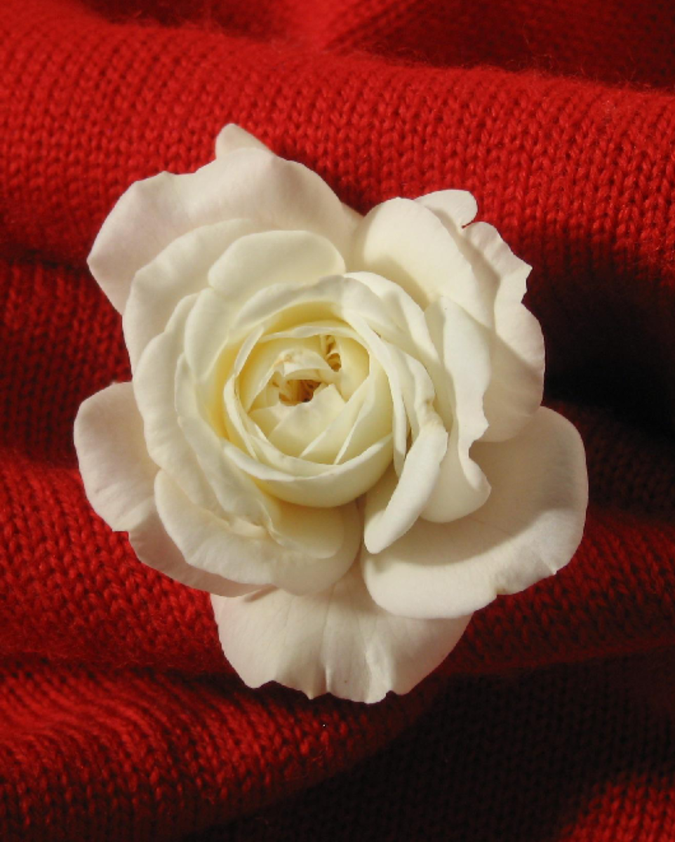 Red Background for White Rose Picture