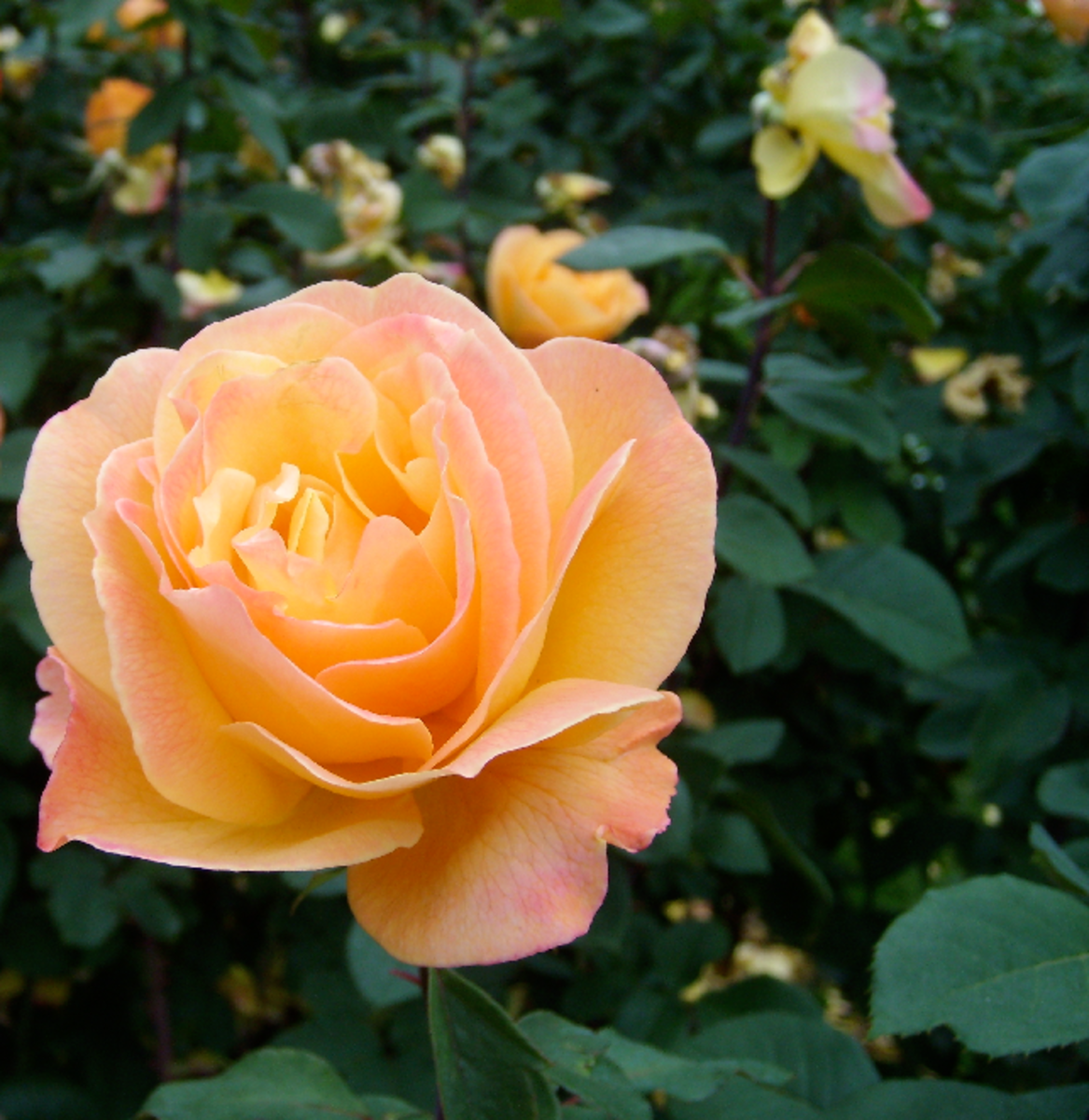 Peach Rose in Garden Picture
