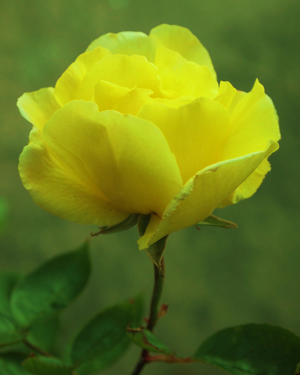 Soft Yellow Rose Color Picture