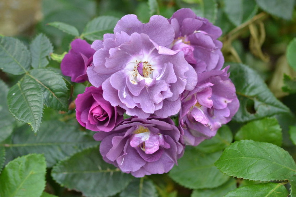 Purple Roses Cluster Picture