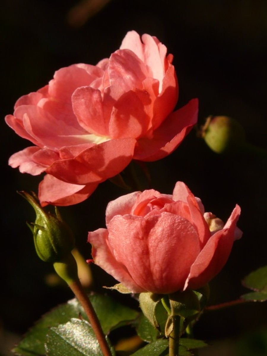 Two Coral Orange Roses Picture