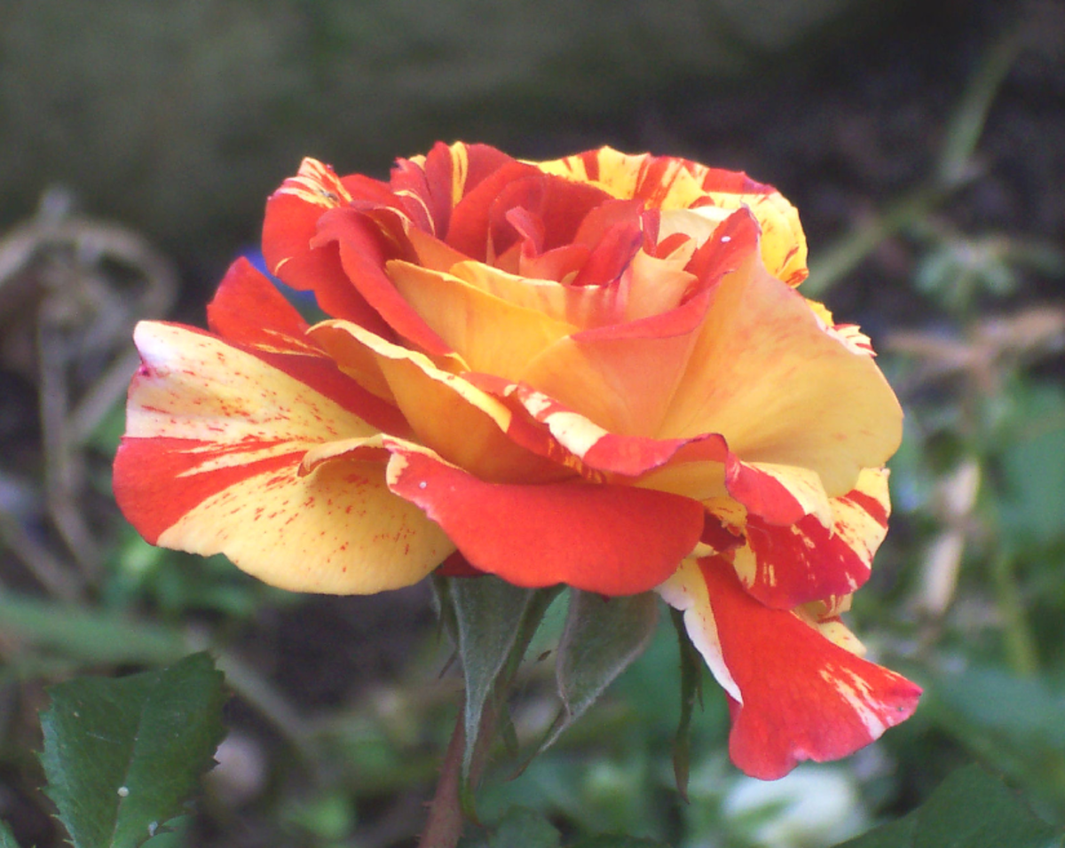 Orange and Yellow Rose Pic