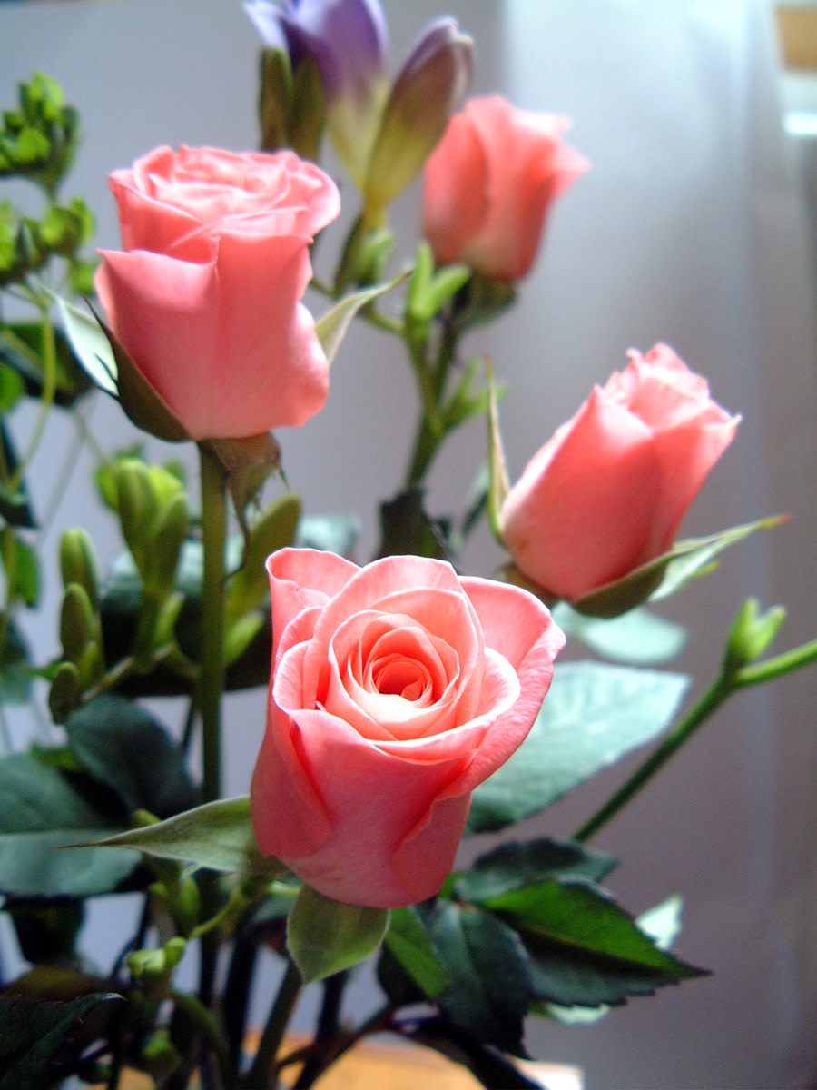 Four Pink Roses Photo