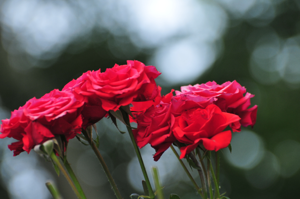 Pic of Red Roses