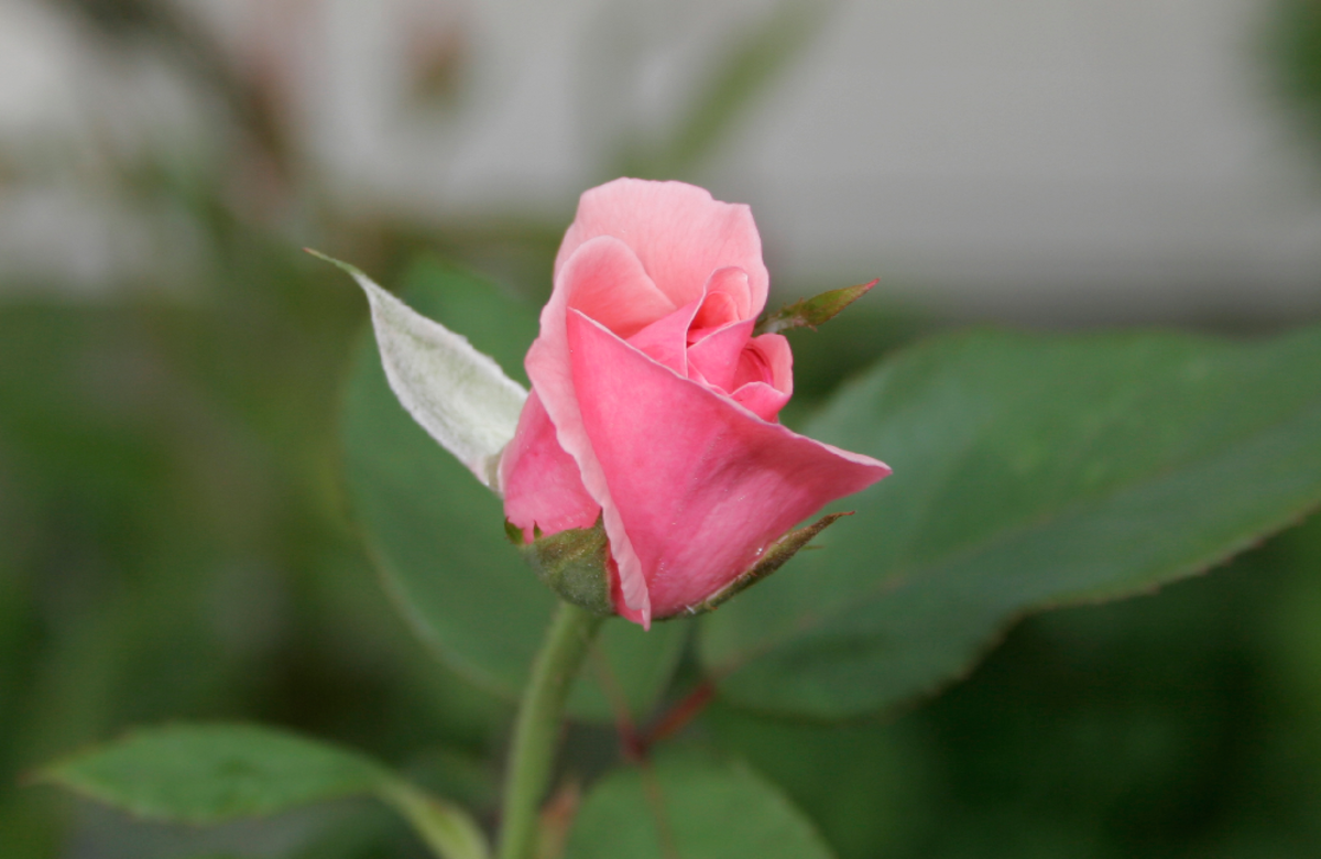 Pink Rose Bud in a Garden Photo