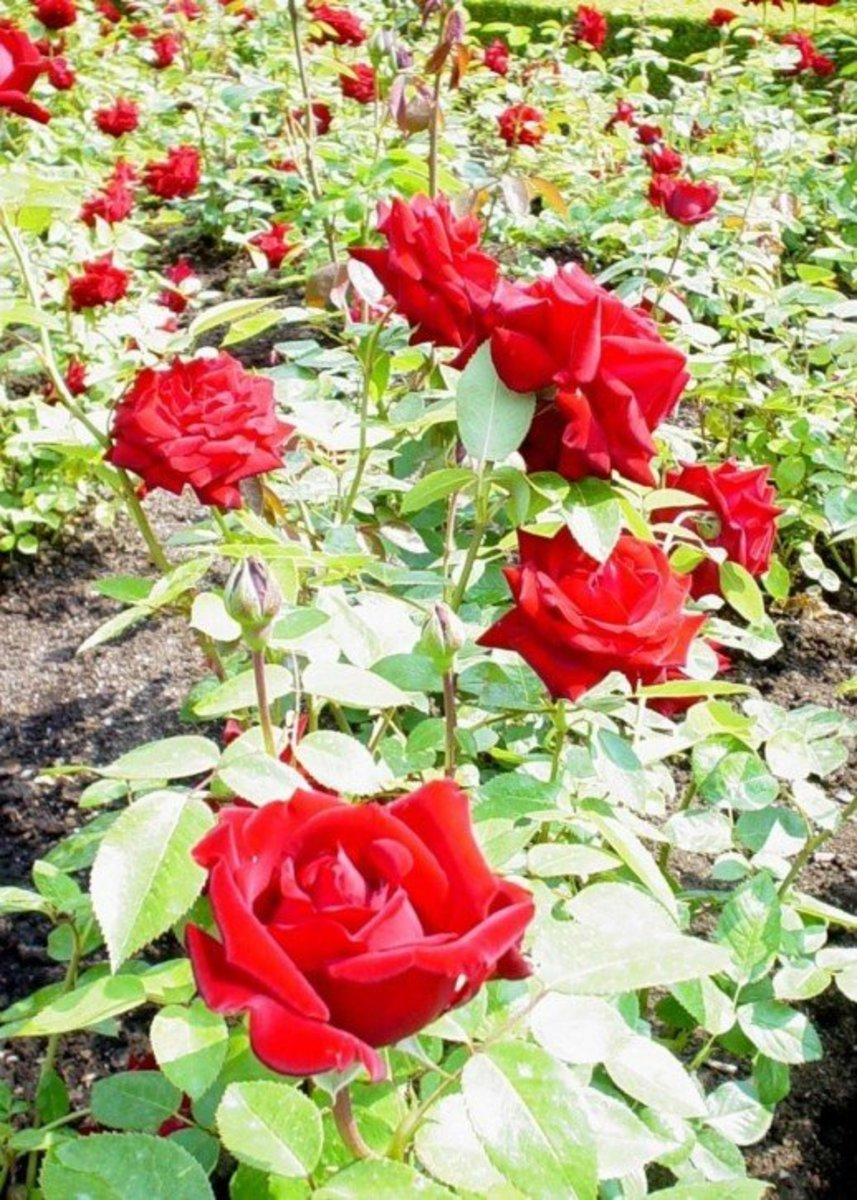 Picture of Garden of Red Roses