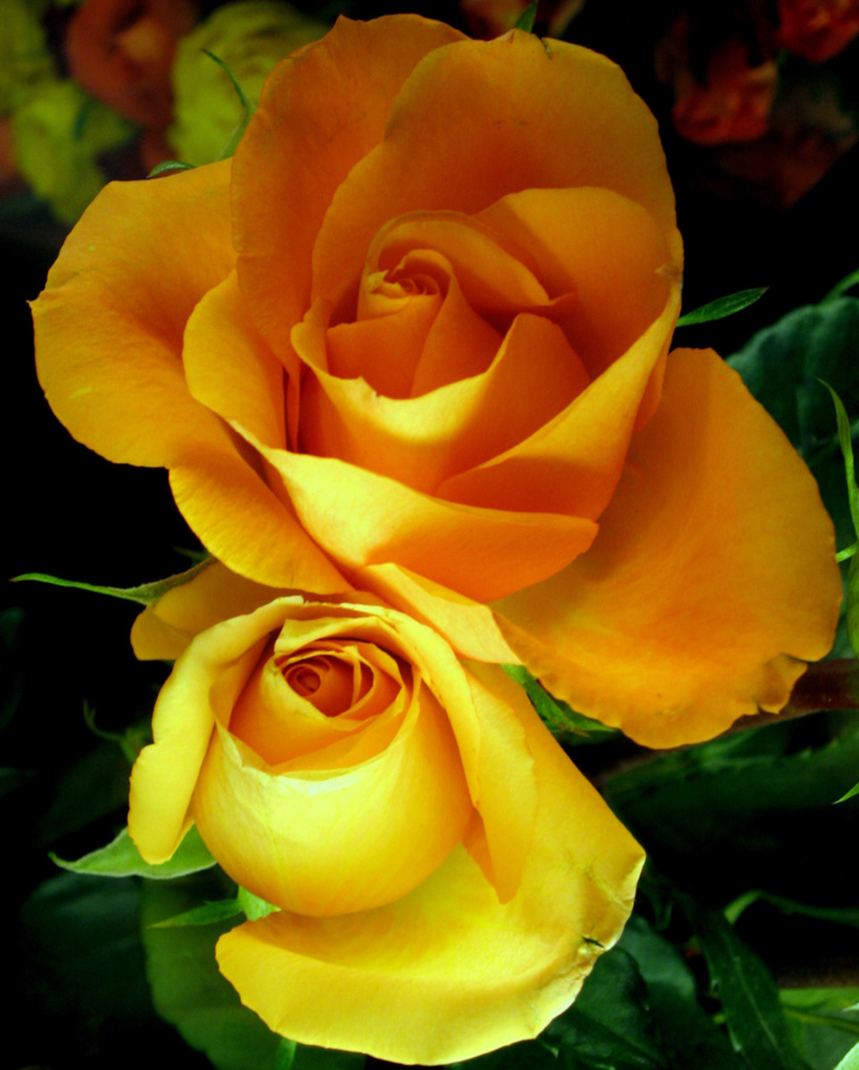 Two Yellow Roses Photo