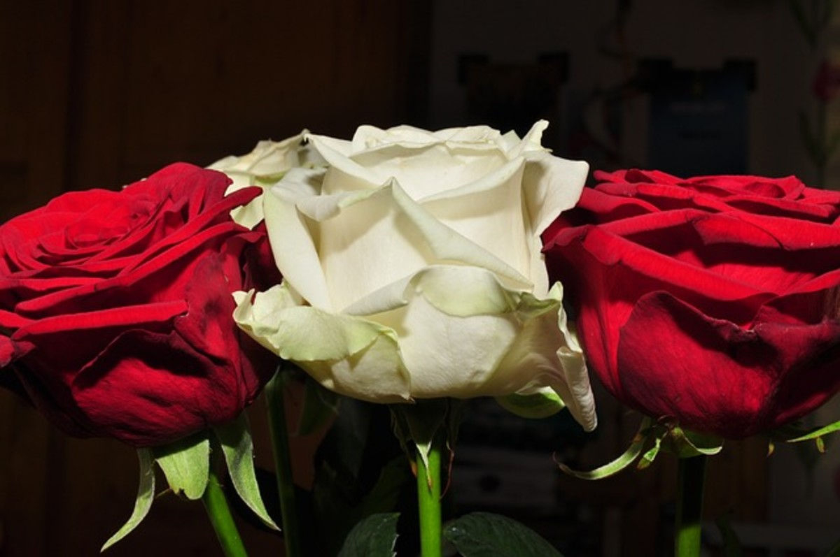 Red Roses Grouping Picture