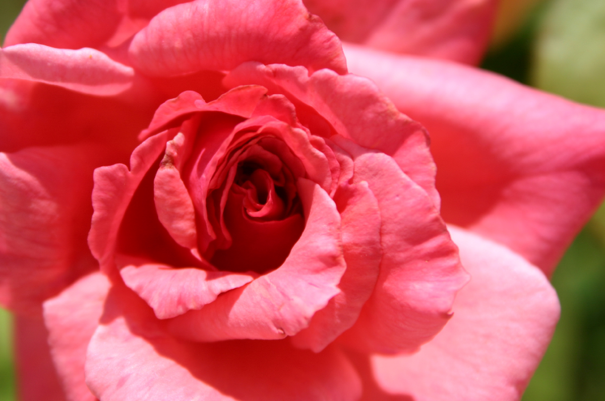 Pink Rose Close-up Photo