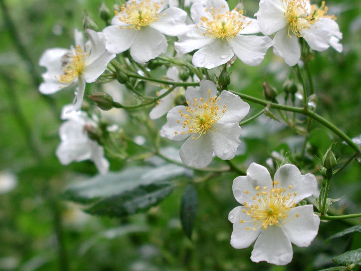 Wild White Roses Photo