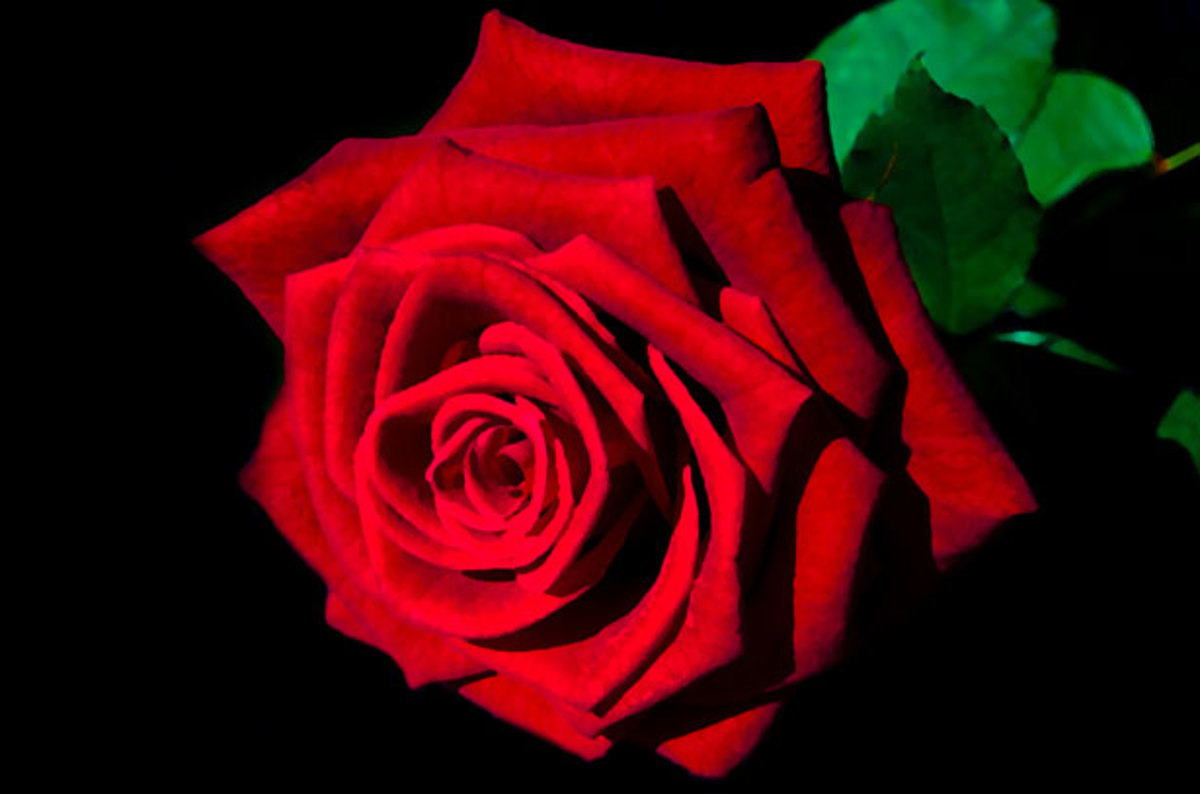 The Perfect Red Rose Photo