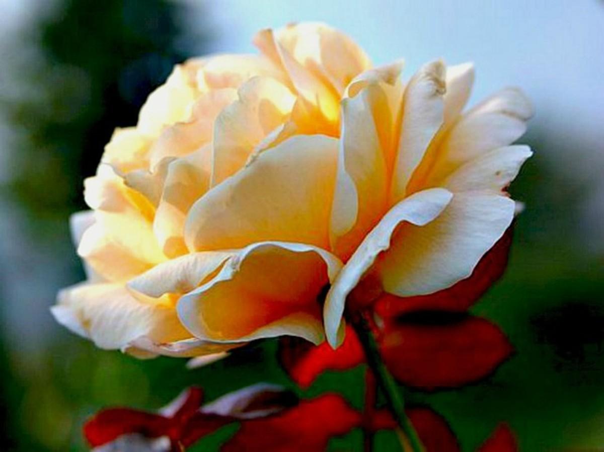 Yellow Rose Image