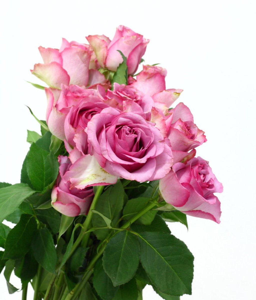 Long-Stemmed Pink Roses Picture