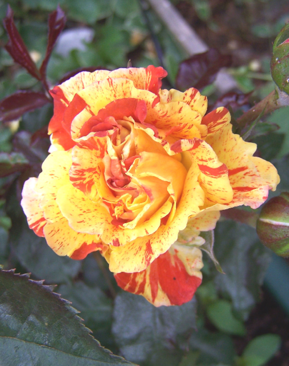 Yellow and Orange Candy Stripe Rose Photo