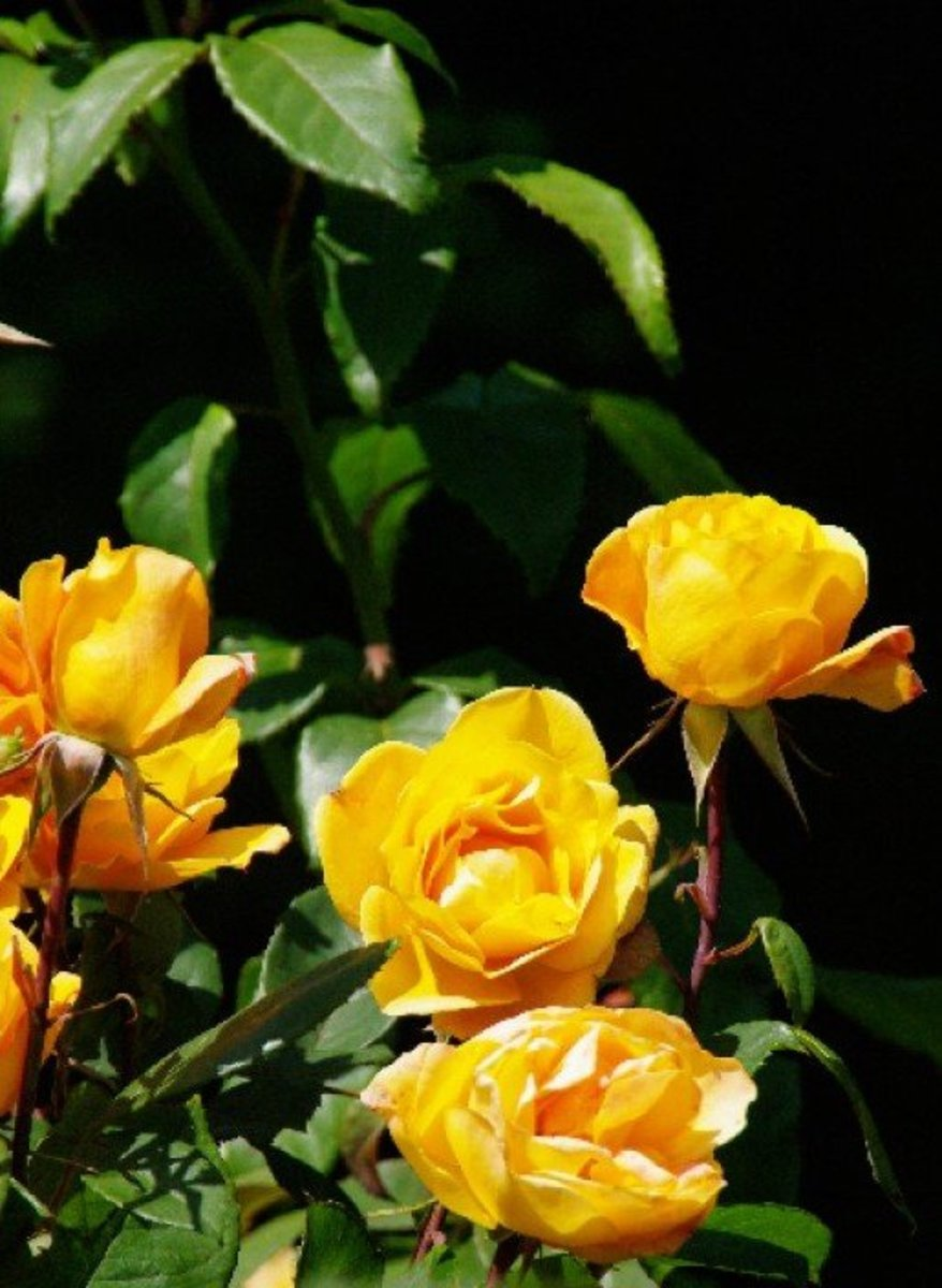 Yellow Roses Grouping Photo