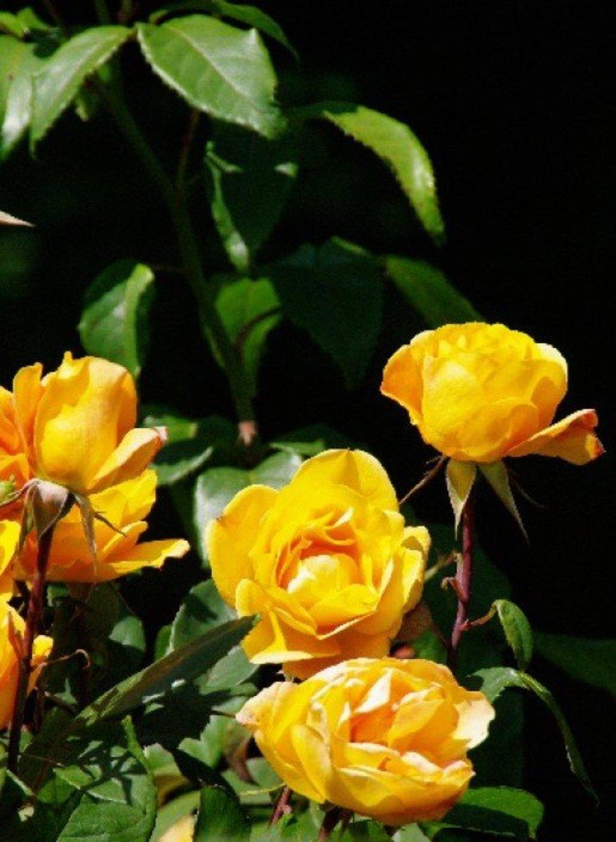 Yellow Roses Grouping Photo