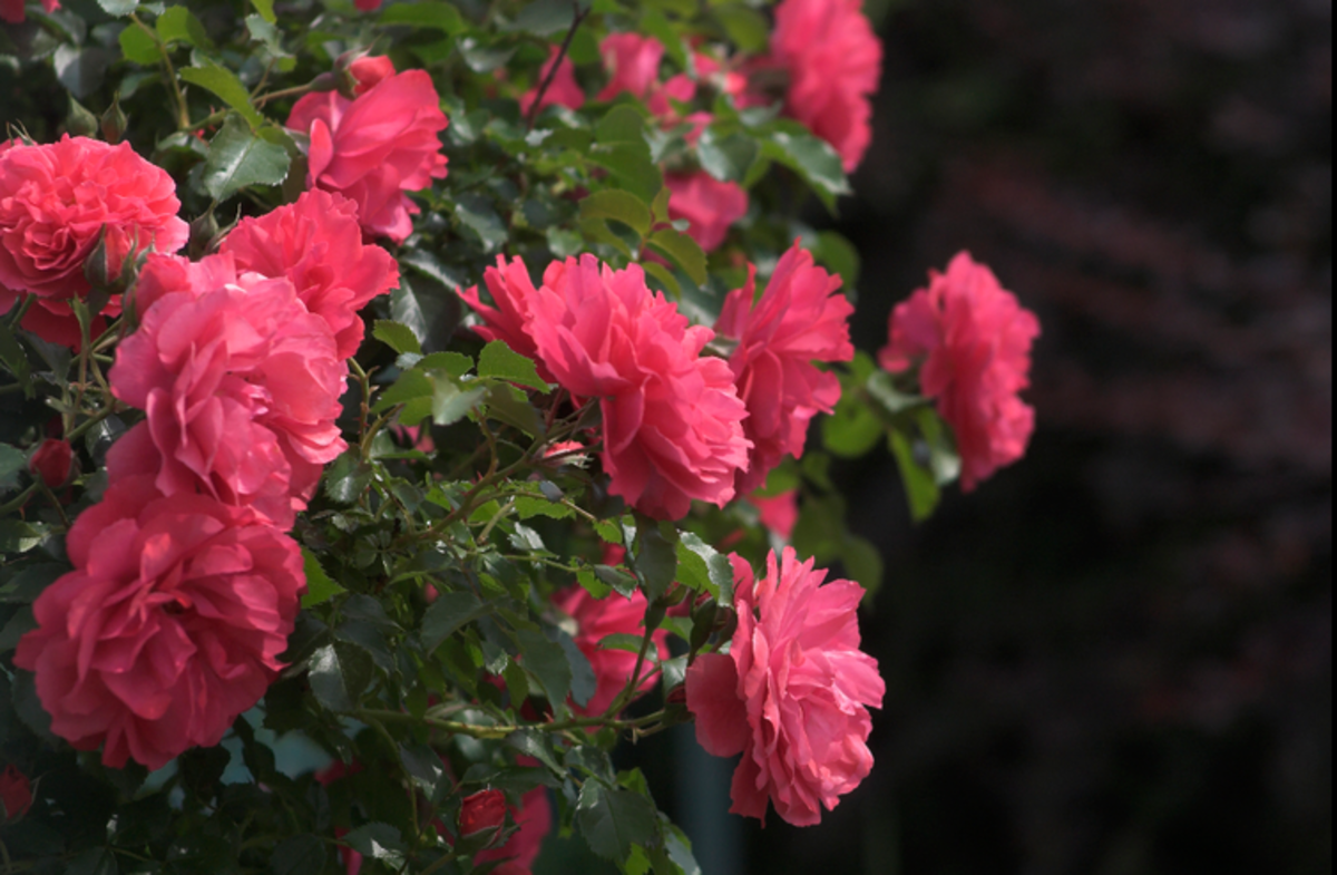 Pink Rose Bush Photo