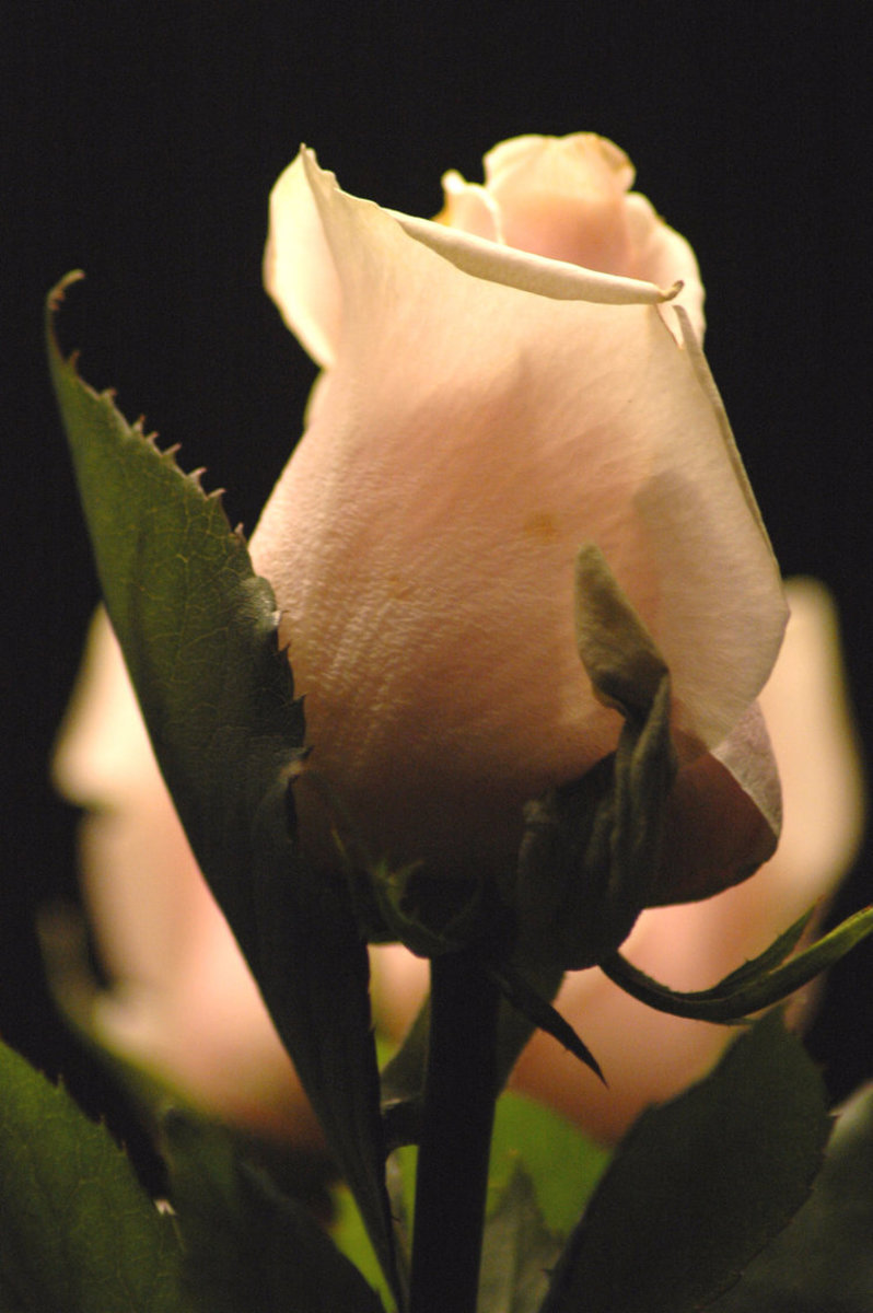 Peach Rose Bud Picture