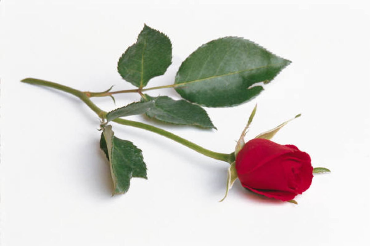 Single Long-Stem Red Rose Photo