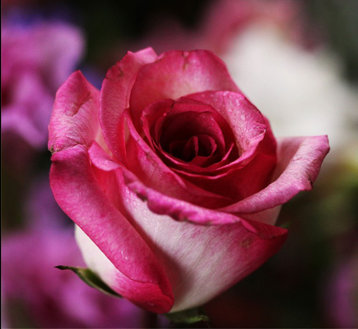 Shocking Pink Rose Flower Photo