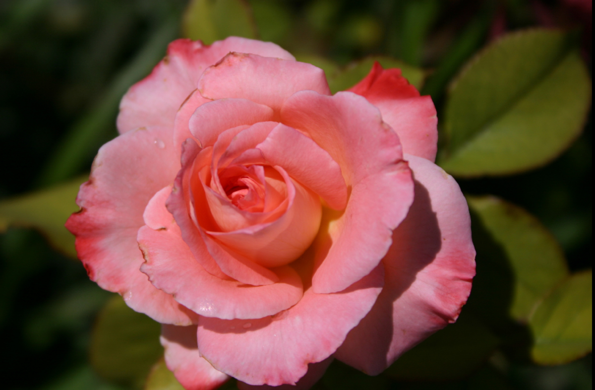 Single Pink Rose Photo