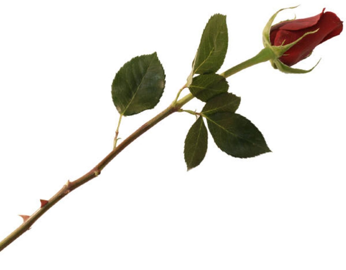 Long Stem Red Rose Bud Picture