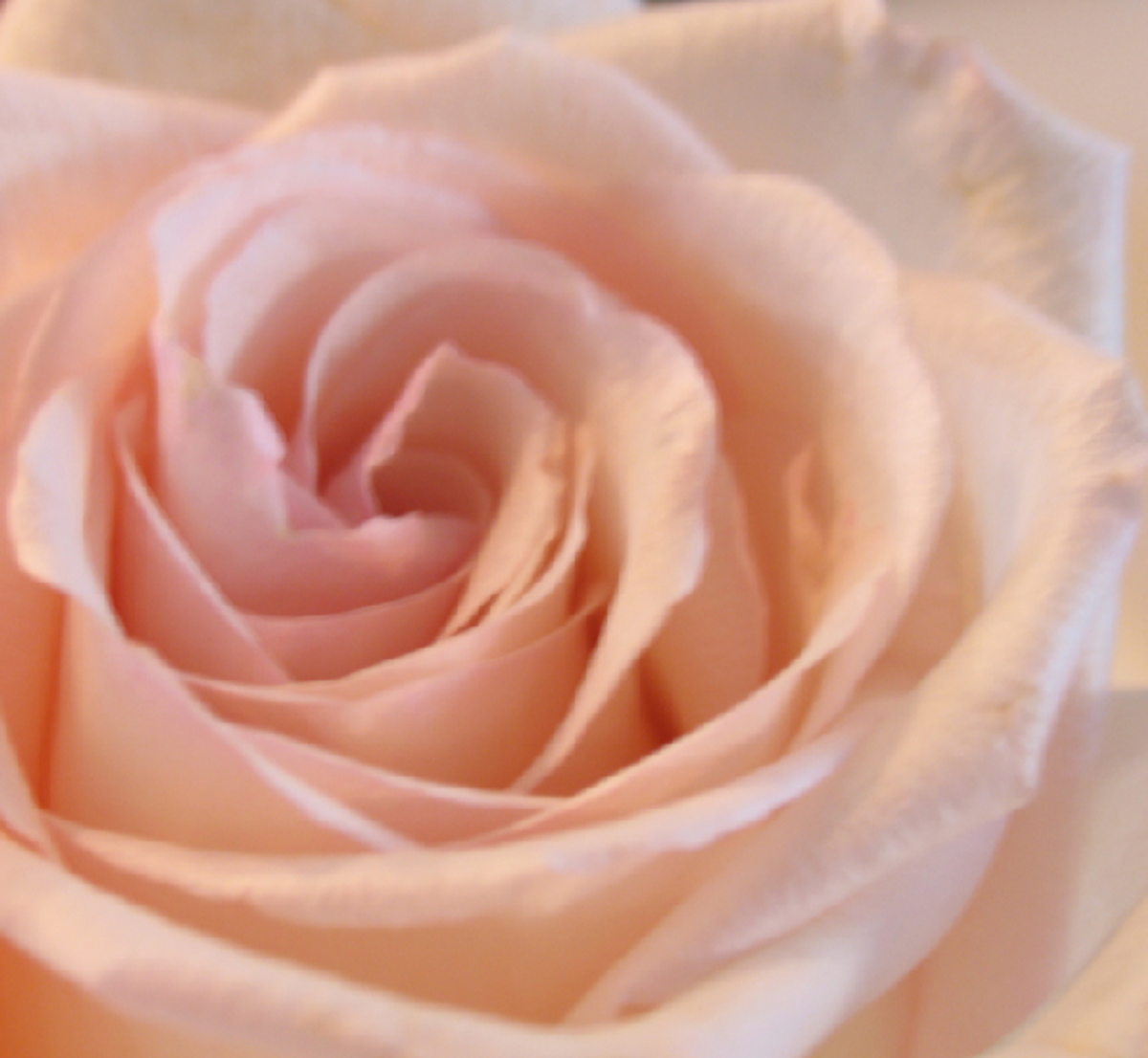 Soft Peach Rose Close-up Picture