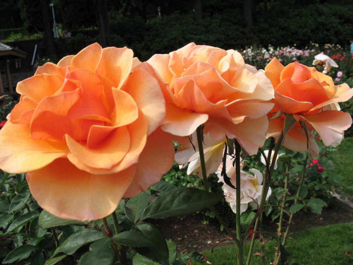 Three Long Stem Orange Roses Picture