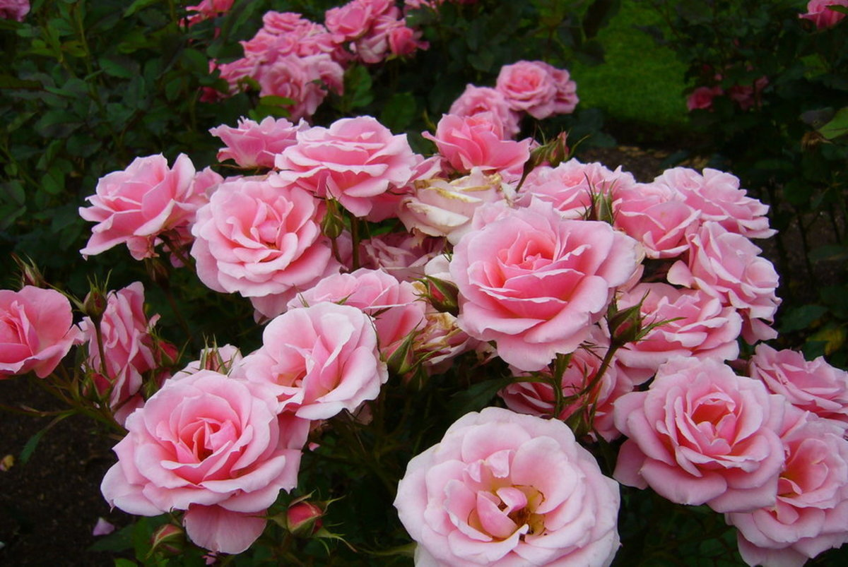 Best Pink Rose Photo of Rose Garden