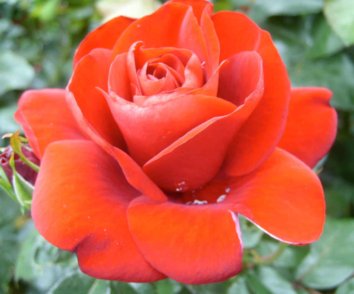 Perfect Orange Rose Picture