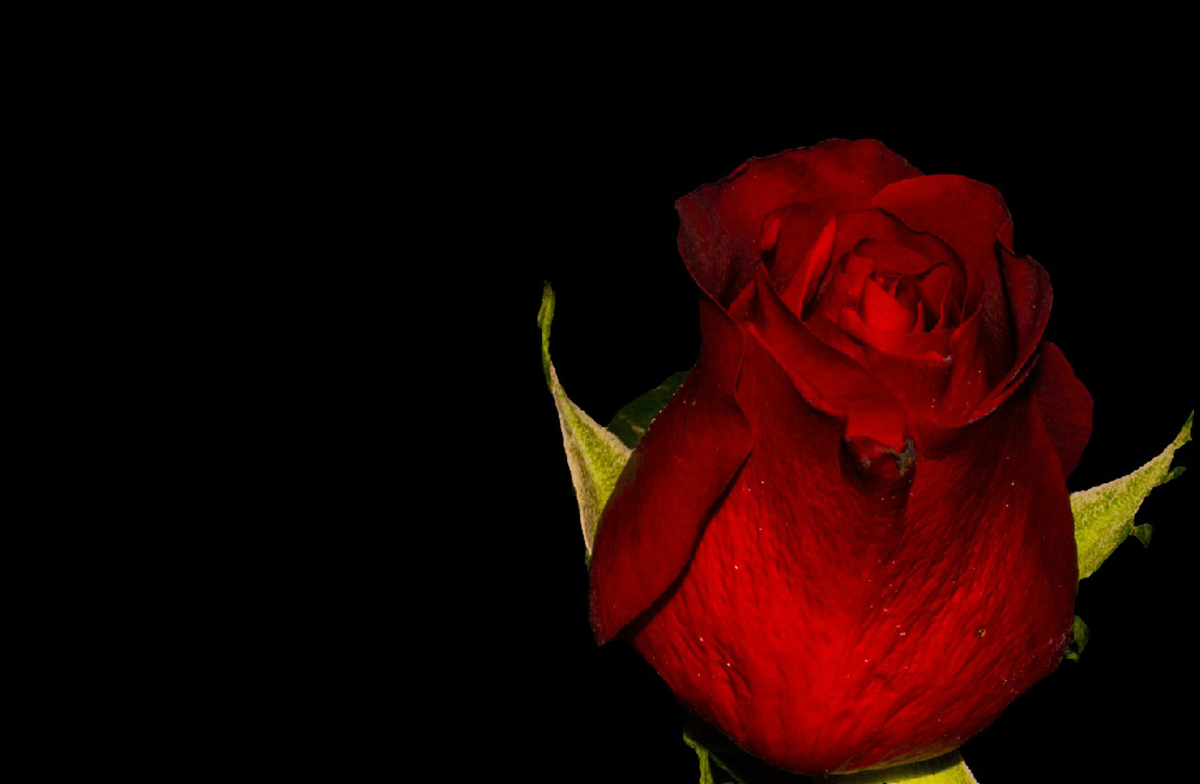 Red Rose Blooming Picture