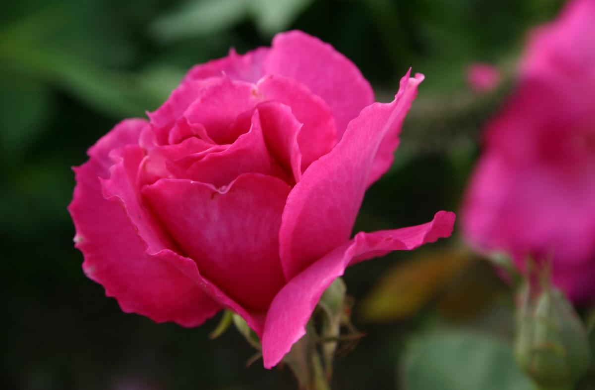 Pink Rose Opening Image