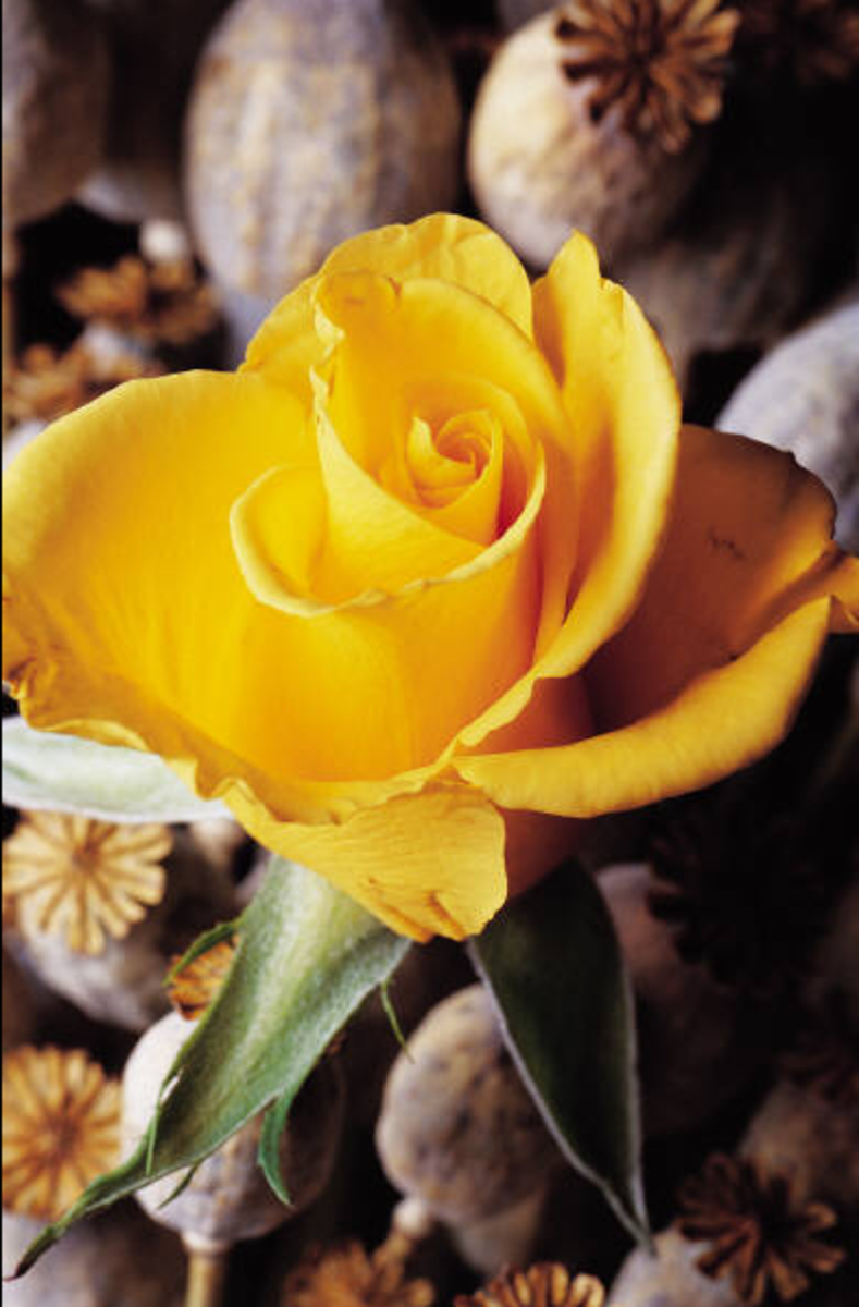 Yellow Rose Opening Picture