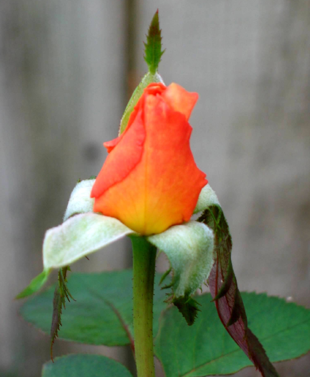 Orange Rose Bud Image