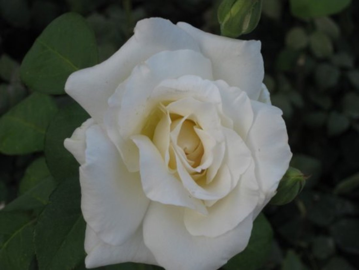 Blooming White Rose Photo